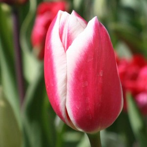 Tulipe Triomphe Candy Apple Delight