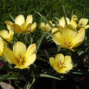 Tulipe batalinii Yellow Jewel