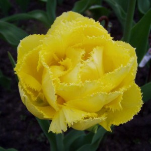 Tulipe dentelée double Exotic Sun