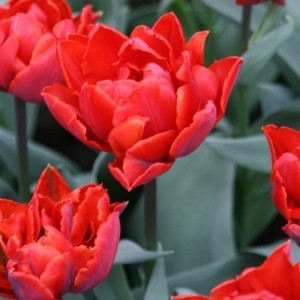 Tulipe Double Red Princess