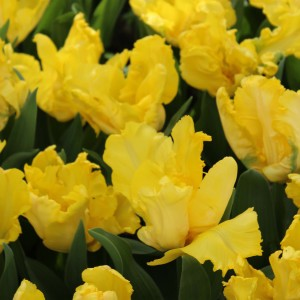 Tulipe perroquet Yellow Sun
