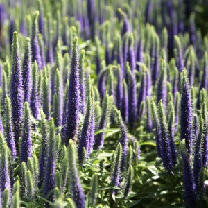 Veronica spicata Blue Candle - Véronique en épis bleue