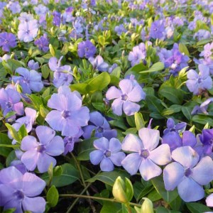 Vinca minor Flower Power - Petite pervenche