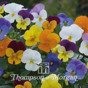 Viola Floral Powers Mixed F1 Hybrid