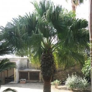 Washingtonia filifera - Palmier à jupon