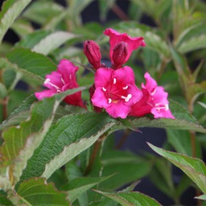 Weigela florida Bristol Ruby