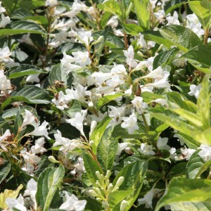 Weigela Milk and Honey ® - Weigélia panaché.