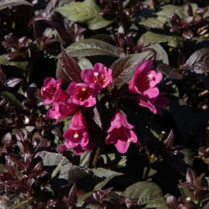 Weigela florida Minor Black ® - Weigélia pourpre nain