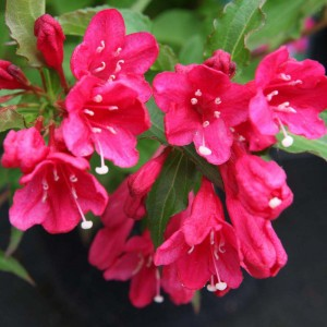 Weigela hybride Red Prince - Weigélia