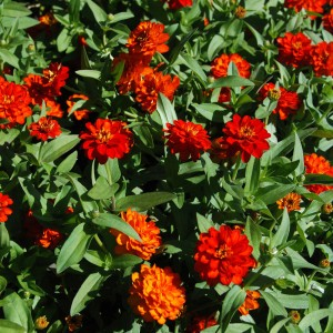 Zinnia Profusion Double Fire - Zinnia hybride double