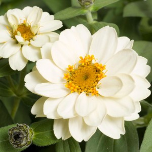 Zinnia Profusion Double White - Zinnia hybride double