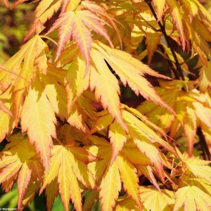 Érable du Japon - Acer palmatum Orange Dream