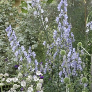 Aconite - Aconitum Stainless Steel