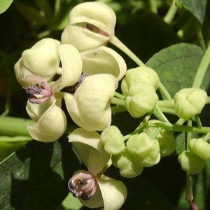 Akebia quinata Cream Form Pot de 2L