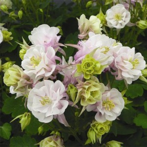 Ancolie Winky Double Rose White - Aquilegia vulgaris