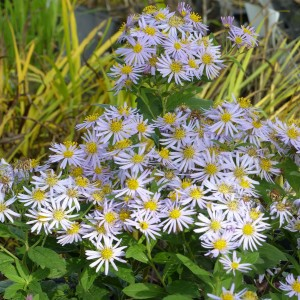 Aster ageratoides Asran - Aster grand d'automne