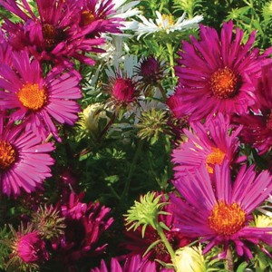 Aster novae-angliae Septemberrubin - Septembre rouge