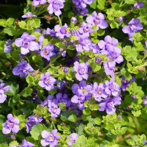 Bacopa Scopia Double Indigo