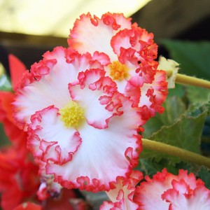 Begonia crispo marginata white/red