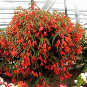 Begonia SummerWings Orange