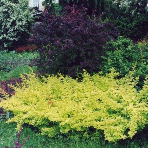 Berberis thunbergii Golden Carpet ® - Epine-vinette