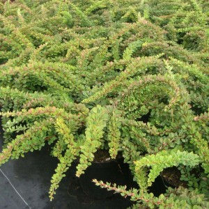 Berberis thunbergii Green Carpet - Epine-vinette