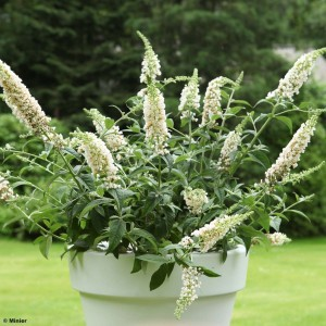 Buddleia White Chip  - Arbre aux papillons nain