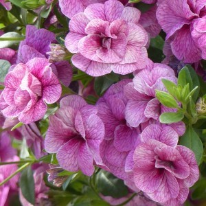 Calibrachoa Can-Can Rosies Pink Vein - Mini-pétunia double