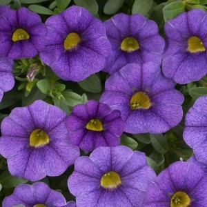 Calibrachoa Noa Blue Legend - Mini-pétunia