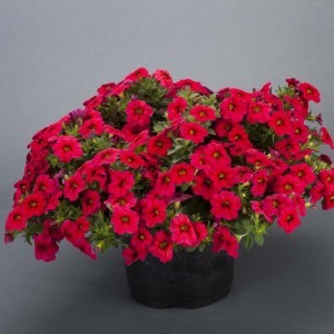 Calibrachoa Noa Dark Red - Mini-pétunia