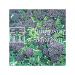 Chou Brocoli Summer Purple