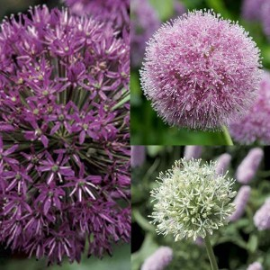 Collection 10 Alliums