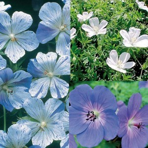 Collection Geraniums Vivaces Blanc Bleu