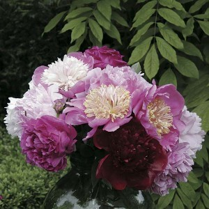 Collection Bouquet De Pivoines