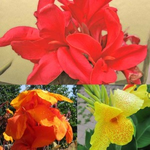 Collection de 5 Cannas