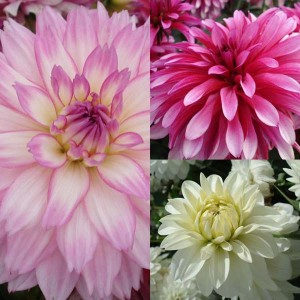 Collection Dahlias Gallery