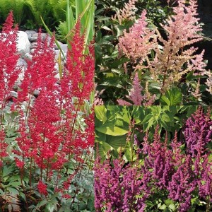 Collection de 3 Astilbes