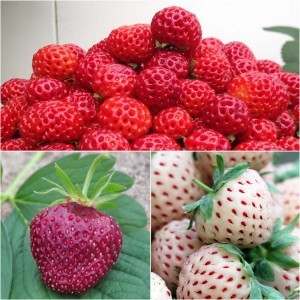 Collection de 3 fraisiers Framberry, Cherry Berry, Pineberry