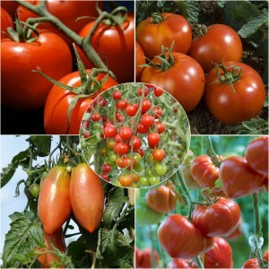 Collection de 5 tomates indispensables en plants