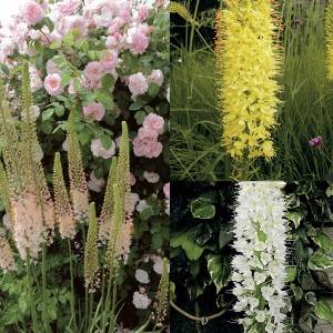 Collection Eremurus