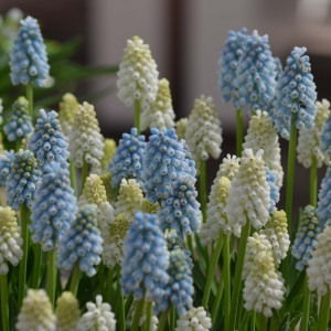 Collection Muscari Magic