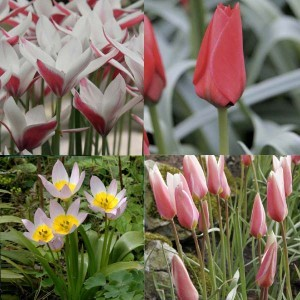 Collection 50 Tulipes Sauvages