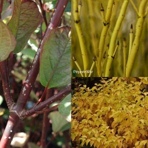 Collection de 3 Cornus