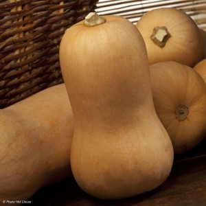 Courge Butternut Sibelle F1 en plants