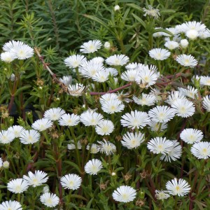 Delosperma Wheels of Wonder White