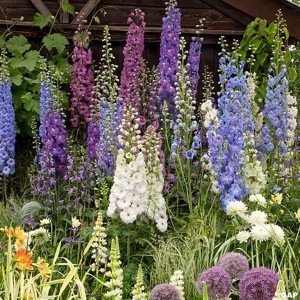 Delphinium Magic Fountain mix - Pied d'alouette hybride en mélange