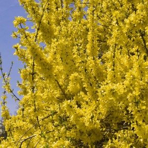 Forsythia (x) intermedia Minigold ® (Flojor®) - Mimosa de Paris