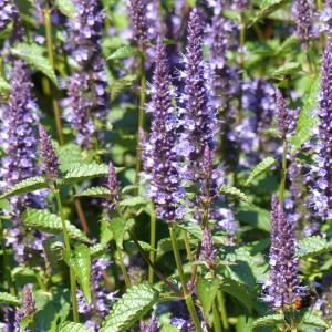 Graines d'Agastache Astello Indigo