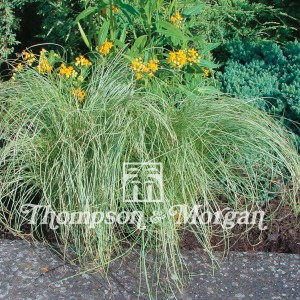 Graines de Carex comans Amazon Mist