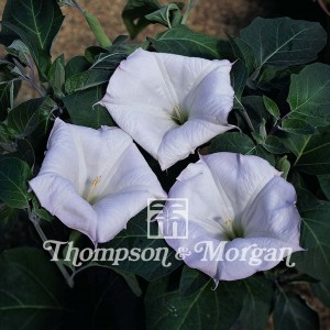 Graines de Datura meteloides Evening Fragrance